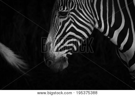 Mono Close-up Of Grevy Zebra Behind Tail