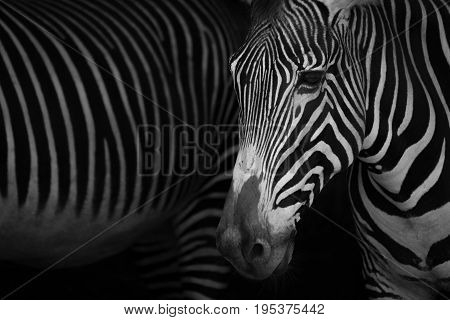 Mono Close-up Of Grevy Zebra Beside Another