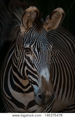 Close-up Of Grevy Zebra Head Looking Out