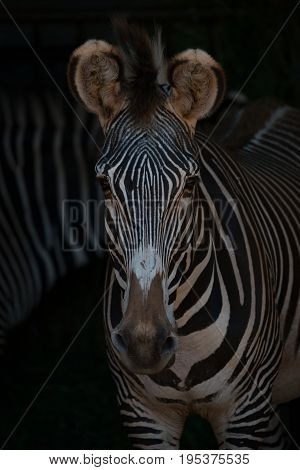 Close-up Of Grevy Zebra Head And Shoulders