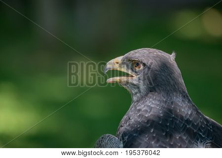 Close-up Of Black-chested Buzzard-eagle With Beak Open