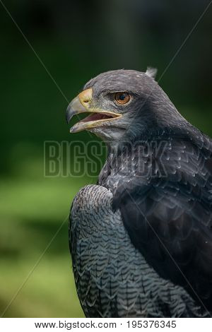 Close-up Of Black-chested Buzzard-eagle Half In Sunshine