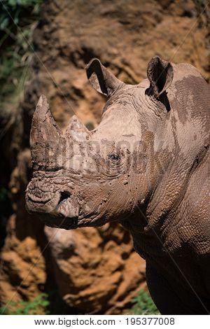 Close-up Of Muddy White Rhinoceros Beneath Cliff
