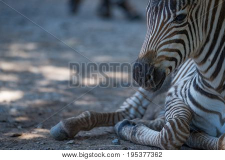 Close-up Of Baby Grevy Zebra Lying Down