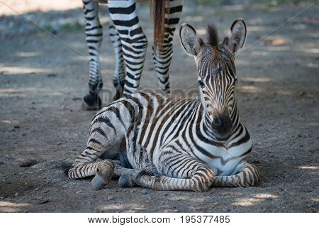 Close-up Of Grevy Zebra Lying By Mother