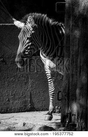 Mono Grevy Zebra Standing In Sunny Barn