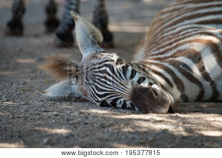 Close-up Of Grevy Zebra Foal On Ground