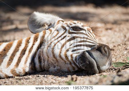 Close-up Of Baby Grevy Zebra On Ground