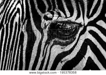 Mono Close-up Of Eye Of Grevy Zebra