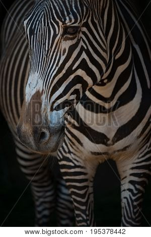 Close-up Of Grevy Zebra Head And Legs