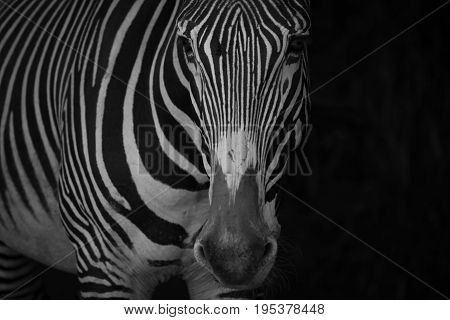 Mono Close-up Of Grevy Zebra In Blackness