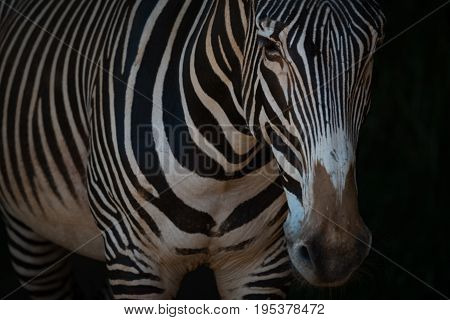 Close-up Of Grevy Zebra Standing In Darkness