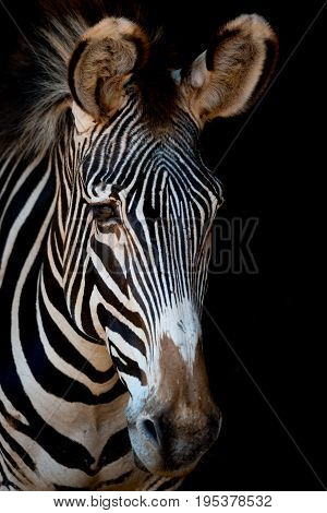 Close-up Of Grevy Zebra With Darkness Behind