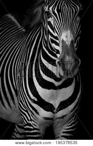 Mono Close-up Of Grevy Zebra Lifting Head