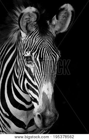 Mono Close-up Of Grevy Zebra Facing Forward