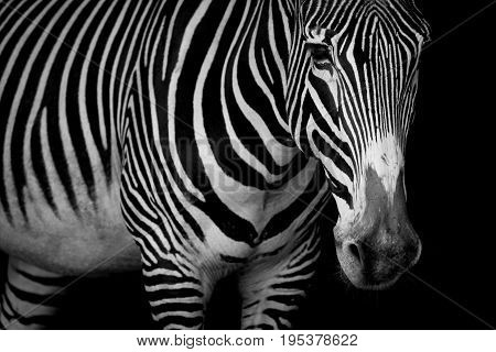 Mono Close-up Of Grevy Zebra Looking At Camera