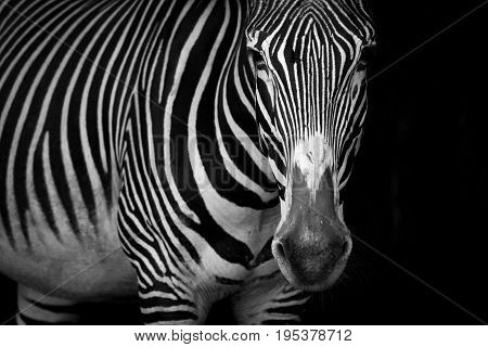 Mono Close-up Of Grevy Zebra Standing Staring