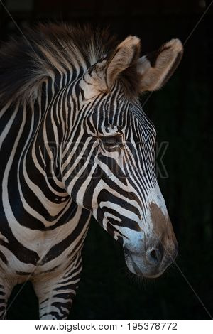 Close-up Of Grevy Zebra Head In Darkness