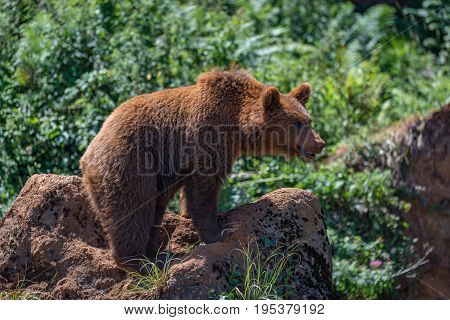 Brown Bear Standing On Rock In Undergrowth