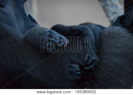 Gorilla Baby Clinging To Arm Of Mother