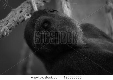 Mono Close-up Of Sleeping Gorilla In Hammock