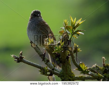 Hedge sparrow perched on a tree branch