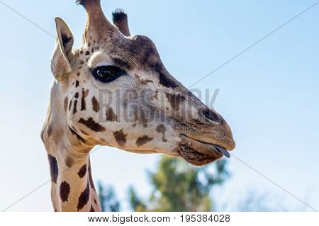 Shallow depth of field close up of giraffe slightly sticking its tongue out