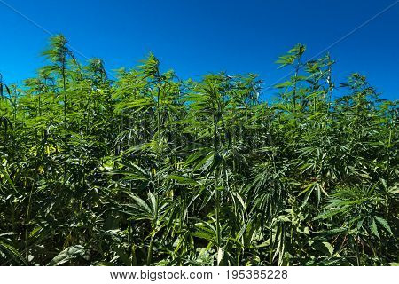 Close up of an Hemp field in Catalonia