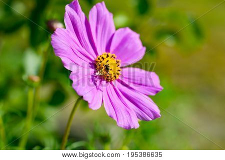 Wasp inside pink cosmos flower (Cosmos Bipinnatus). Close up. Natural background
