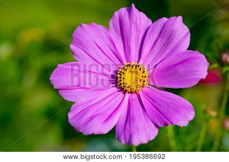 Beautiful light purple cosmos flower (Cosmos Bipinnatus). Close up. Isolated focus