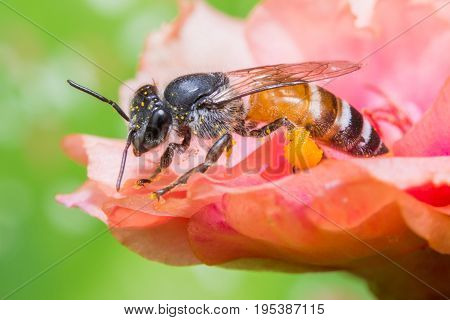 bee and honey pollination on body on flower