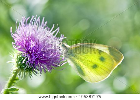 yellow butterfly on a flower of the thistle