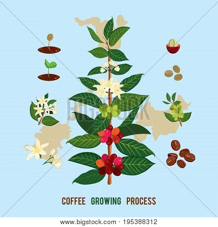 Beautiful and colorful botanyshe illustration of a coffee plant and tree. The Coffee Tree, Showing Details of Flowers and Fruit. Illustration for wall chart  Coffeetree (Coffea arabica)