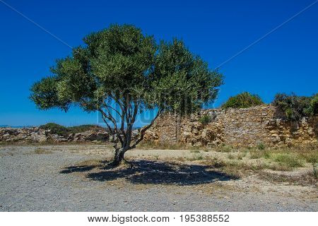 Single olive tree on the Costa Brava