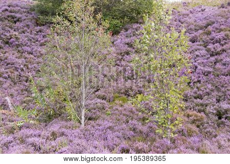 2 young green sapling trees stand against a pink background of heather in flower. Scenic August in Holmeforth, Yorkshire, UK
