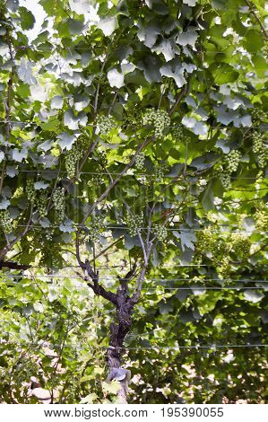 Bunch of white grapes on a vineyard in dolomites in Italy