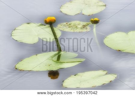 Egg is yellow, or the yellow water lily N phar l tea is a perennial aquatic plant The insect village on the flower