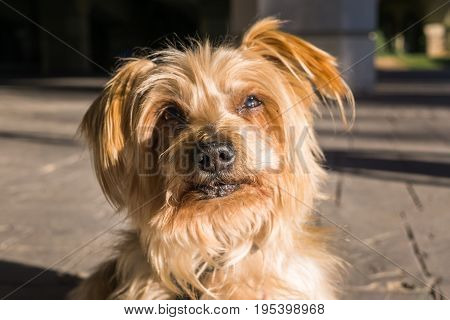 Surprised dog. Doggy with curiosity expression raising his ears. Close-up Dog Focus on the snout, brown Yorkshire Terrier doggie.