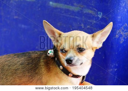 Brown chihuahua puppy is staring on floor
