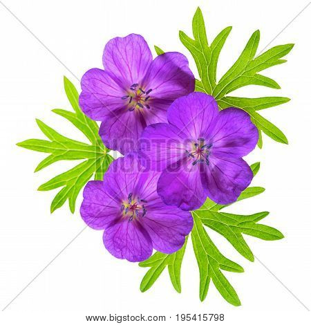 Close Up Top View Of Beautiful Blooming Purple Bloody Crane's-bill Geranium Flower With Green Leaves