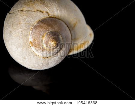 Fossil of Land snail shell on black background