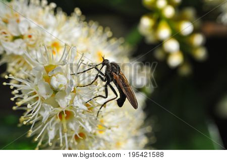 Close up photos Robber Fly on wild flowers. Robber Fly in nature