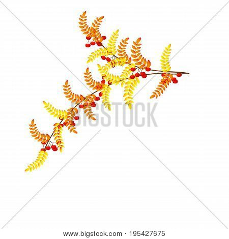 Branch of rowan berries autumn. Vector illustration for a site
