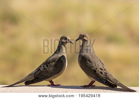 a pair of mourning doves checking each other out