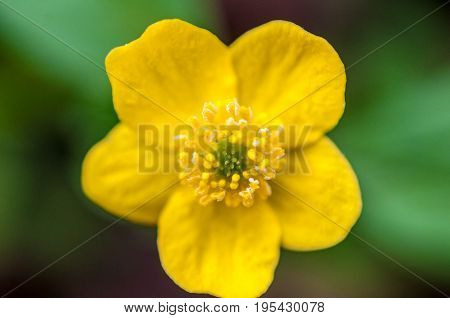 A Background With Super Macro Closeup Of A Anemone Ranunculoides With Five Petals