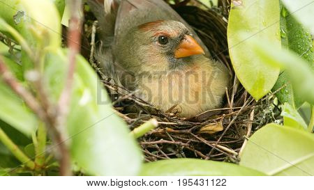 A female Cardinal bird sits on her three new born babies in the nest the day the babies were born
