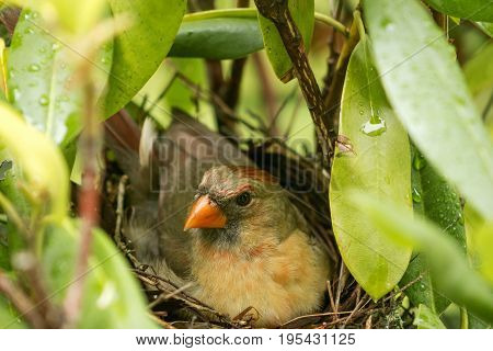 A cardinal mother sits on her three new born babies in the nest to protect them and keep them warm