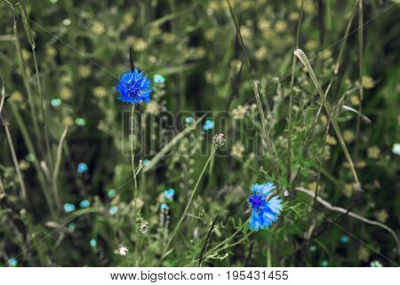 Wildflowers of beautiful blue cornflowers on green meadow for abstract natural background. Selective focus. Concept of seasons, ecology, green planet, seasons