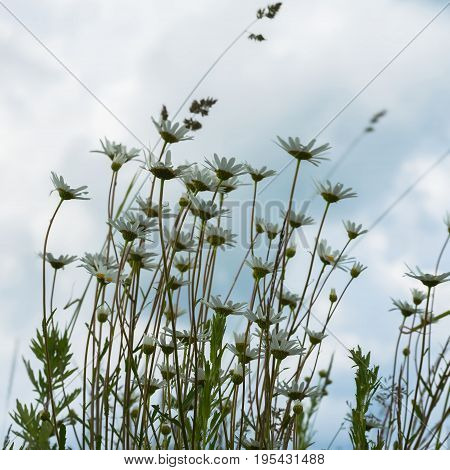 Windy day after the rain, a gloomy sky. Beautiful white daisies against a dark blue sky with clouds, a view from below. Concept of seasons, ecology, green planet