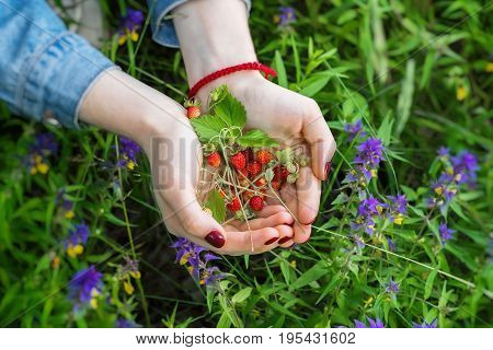 Handful wild Fragaria vesca, commonly called wild strawberry, woodland strawberry, in palms of girl close-up. Concept of seasons, ecology, detox, Detox, vegetarianism, healthy lifestyle, green planet